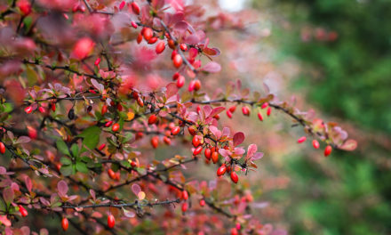 Barberry and Blood Pressure