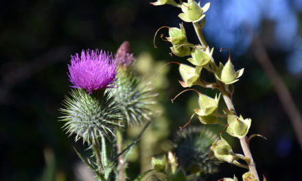 Milk Thistle and Liver Cancer