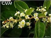 Tripterygium Wilfordii Hook F (TwHF)